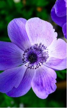 Anemoon bestellen online | Vaste planten | Tuincentrum Kennes in Lier