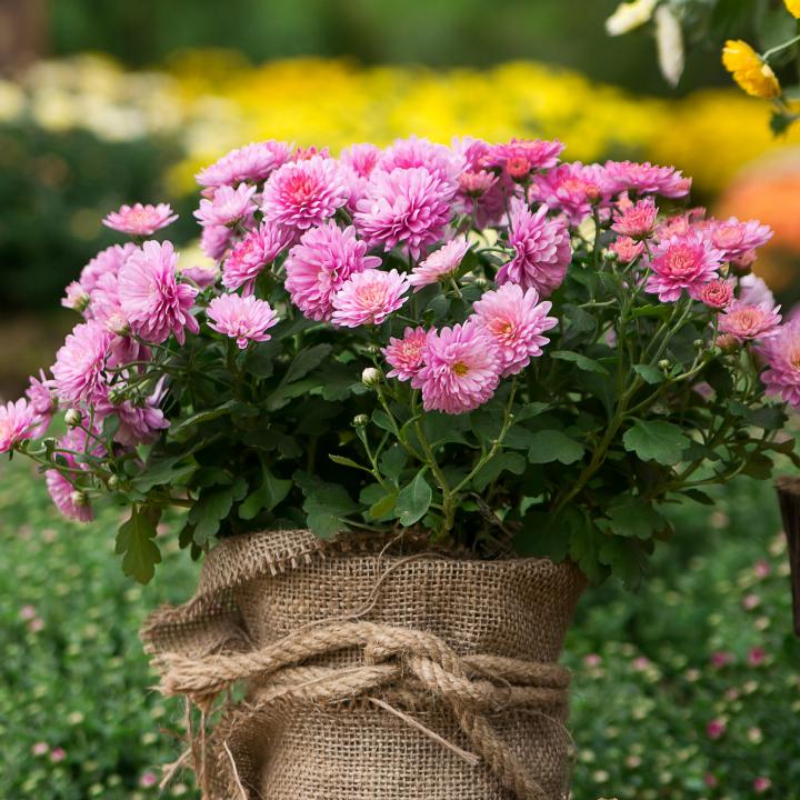 Bol chrysant tuincentrum Kennes tuinplanten