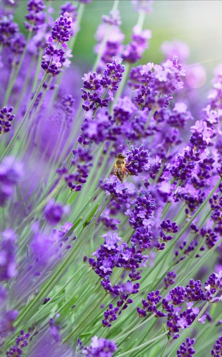 Lavendel online bestellen | Vaste planten | Tuincentrum Kennes