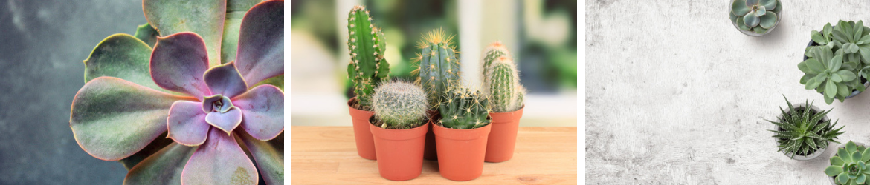 Cactussen en vetplanten | Tuincentrum Kennes in Lier