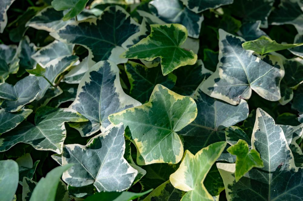 Clematis | Rozen en klimplanten | Tuincentrum Kennes