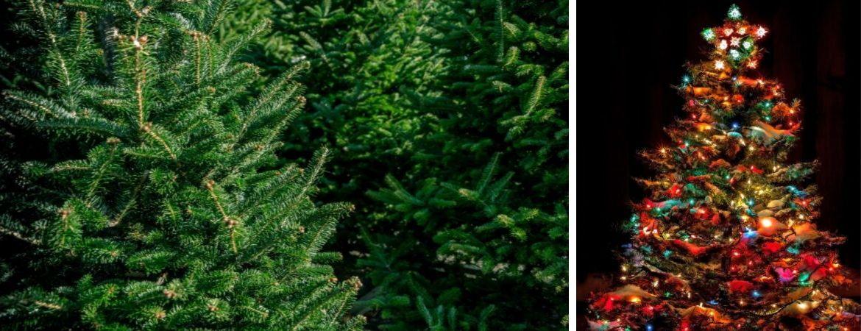 Kerstbomen koopt u bij tuincentrum Kennes in Lier