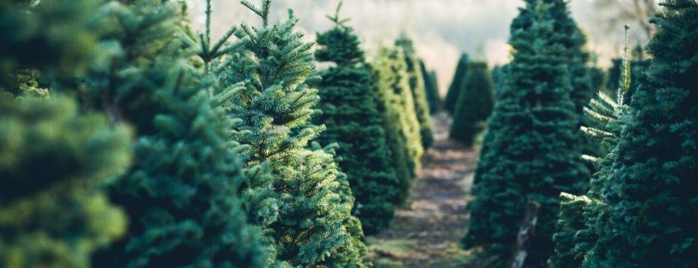 De mooiste kerstbomen vindt u bij tuincentrum Kennes in Lier, vlakbij Antwerpen