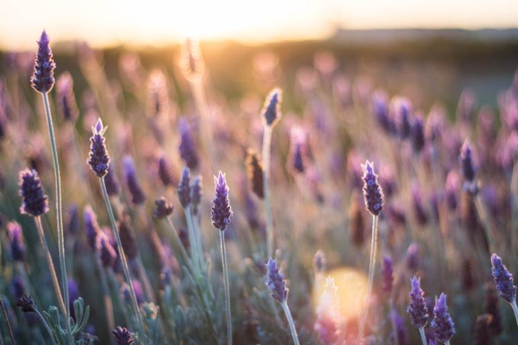 Lavendel tuicnentrum Kennes