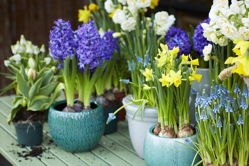 Bloemen In Pot.Tuinplant Van De Maand Februari Voorjaarsbollen Op Pot Kennes
