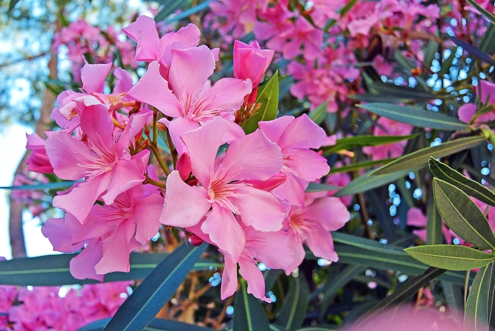 Oleander | Perkplanten | Tuincentrum Kennes in Lier