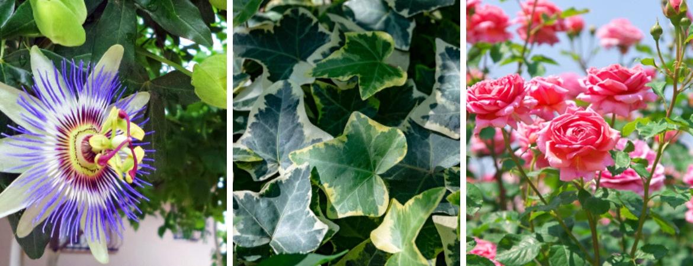 Rozen en klimplanten kopen bij Tuincentrum Kennes in Lier, vlakbij Antwerpen