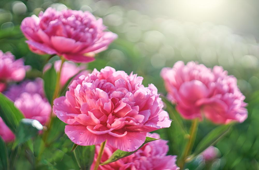 Rozen en klimplanten | Tuincentrum Kennes