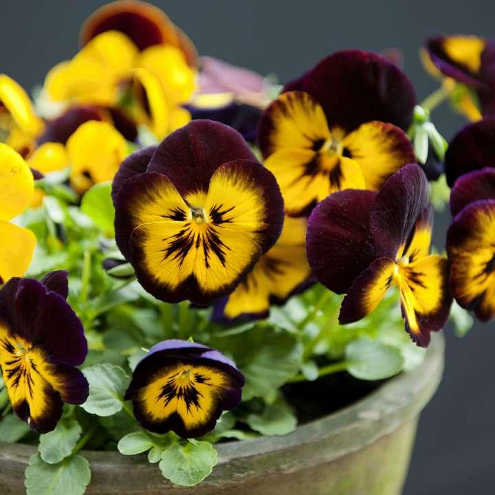 Winterviolen tuinplanten tuincentrum Kennes Lier
